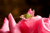 Grasshopper on a Rose